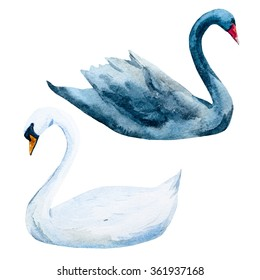 watercolor two swans, black and white swan, isolated object