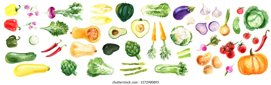 Watercolor vegetables on a white background. Turnip, squash, artichoke, tomatoes, chili, zucchini, sweet peas, pumpkin, radish