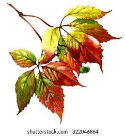 watercolor vine leaves; decorative wild grape
