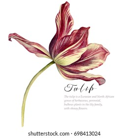 Watercolor vintage tulip. Red with white  tulip on white background. Botanical art.
