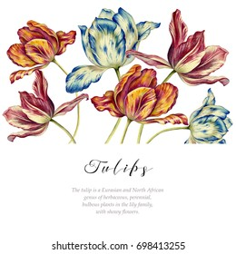 Watercolor vintage tulips. Colorful tulips on white background. Rectangular banner. Botanical art.