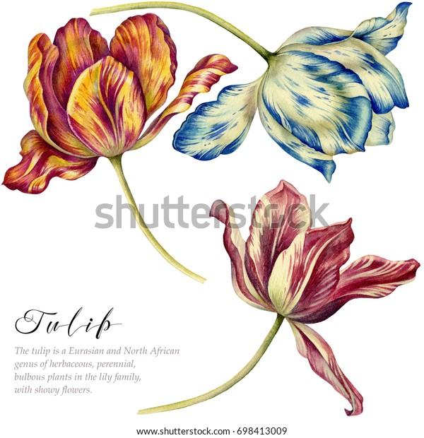 Акварельные старинные тюльпаны. Красочные тюльпаны на белом фоне. Ботаническое искусство.