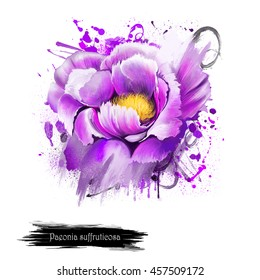 Watercolor violet Peony flower. Paeonia suffruticosa isolated on white background. Important symbol of Chinese culture. Moutan or Chinese tree peony. Species of peony native to China.