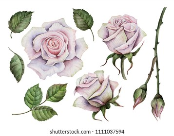 Watercolor white roses set, hand painted illustration of flowers, leaves and buds, floral elements isolated on a white background.