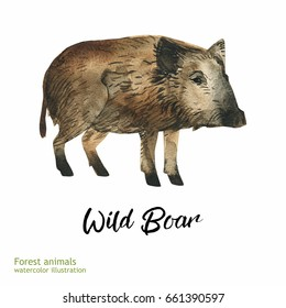 Watercolor wild boar painting. Hand painted realistic illustration isolated on white background. Realistic forestry animal art.
