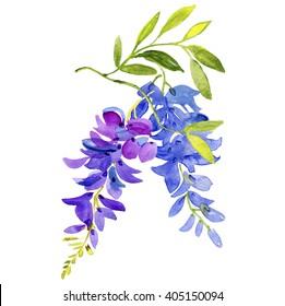 Watercolor wisteria.