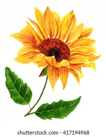 A watercolor yellow sunflower with two green leaves, hand painted in the style of vintage botanical art on white background