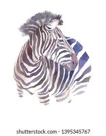 Watercolor zebra illustration isolated on white background