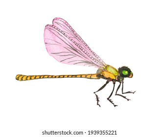 Watercolour drawing, insect dragonfly .Spring nature  insect.
