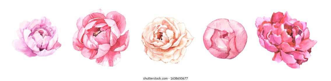 Watercolour hand painted botanical gentle peony flowers illustration set isolated on white background