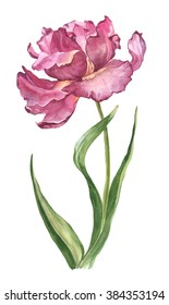Watercolour hand-drawn spring and summer pink tulip flower illustration