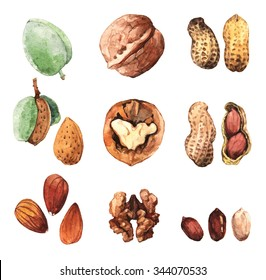 Watercolour highly detailed clip art illustrations of nuts