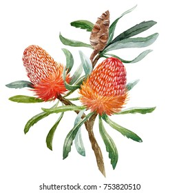 Watercolour illustration of Australian orange flowers Banksias, greeting floral postcard