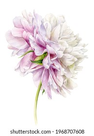 Watercolour illustration. Hand-drawn delicate peony flower on the stem.