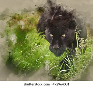 Watercolour painting image of Black jaguar Panthera Onca prowling through long grass in captivity