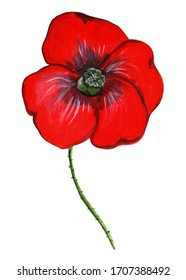 Watercolour Poppy - a beautiful and bright flower with large red petals and a green center. Showy garden flower. Hand drawn watercolor illustration isolated on white background.