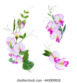 Watercolour sweet peas flowers,Hand drawn botanical element. Isolated on white background.