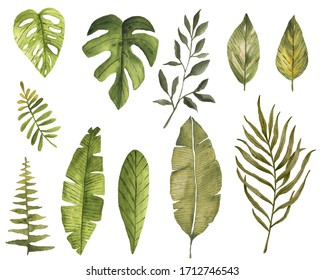watercolour tropical leaves collection element hand painted exotic on white separated summer palm leaf monstera jungle flora