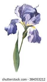 Watercolourhand-drawn spring and summer iris flower illustration