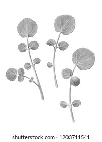 Watercress Pencil Illustration Isolated on White