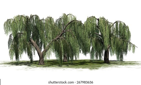Weeping willow cluster - isolated on white background