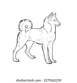 West Siberian Laika. Hand drawn illustration with russian dog breed.