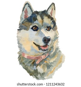 The west siberian laika. Hand painted, isolated on white background watercolor dog portrait.