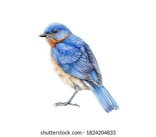 Western blue bird watercolor illustration. Hand drawn North America wild song bird Sialia mexicana. Bluebird close up side view image isolated on white background. Beautiful wildlife animal.