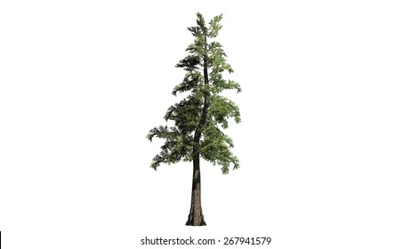 Western red Cedar - isolated on white background