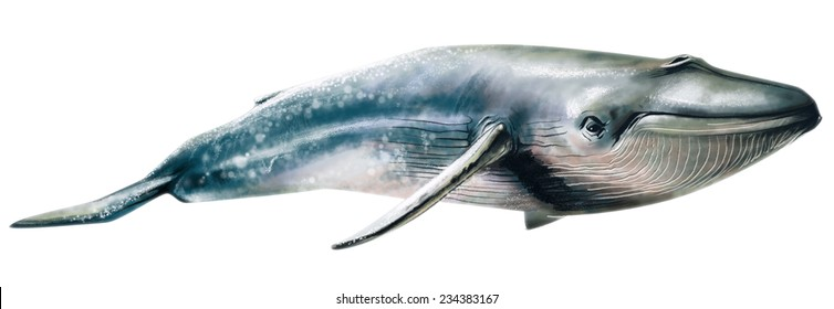 Whale. Reminds realistic watercolor drawn
