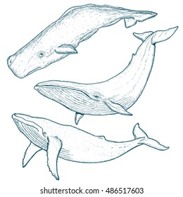 Whales set humpback whale blue whale sperm whale