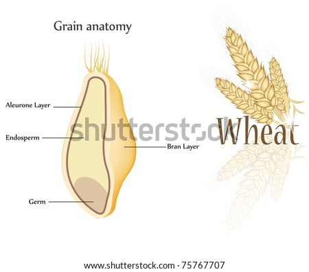Wheat Grain Anatomy Cross Section Grain Stock Illustration 75767707