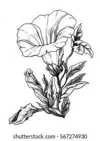 White bindweed flower blossom. Botanical retro vintage hand drawn watercolor black and white monochrome illustration for wedding invitation print, textile, pattern design. Japanese style. Gardening.
