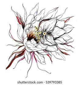 White cactus Queen of the night blossom. Hand drawn watercolor tropical exotic succulent flower on white background. Botanical wedding illustration for print invitation textile design. Japanese style.