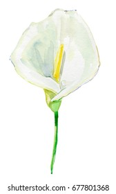white calla lily isolated on a white background. Watercolor painting.