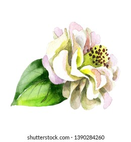 White camelia floral botanical flower. Wild spring leaf wildflower isolated. Watercolor background set. Watercolour drawing fashion aquarelle. Isolated camelia illustration element.