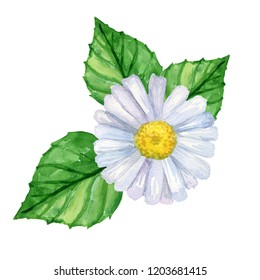 White camomille with green leaves. Watercolor hand drawn illustration. Isolated on white background.