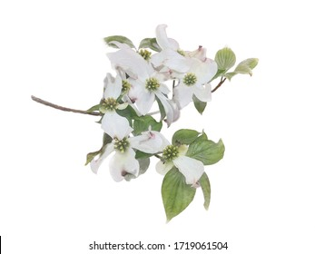 White flowering dogwood on branch watercolor illustration photo manipulation effect, wedding invitation design graphic clip art element of isolated background. decorative flower floral