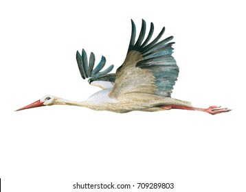 white flying stork drawn in watercolor technique
