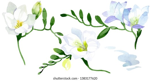 White freesia floral botanical flowers. Wild spring leaf wildflower isolated. Watercolor background illustration set. Watercolour drawing fashion aquarelle. Isolated freesia illustration element.