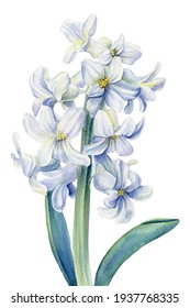 White hyacinth flower on a isolated background, watercolor illustration, botanical painting