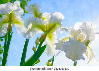 White irises against the sky.