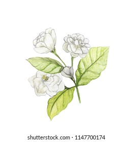 white jasmine flowers bouquet drawing with watercolor