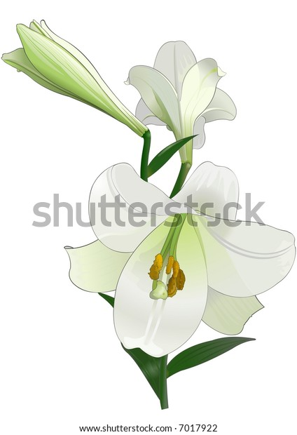 White lily. Drawing.