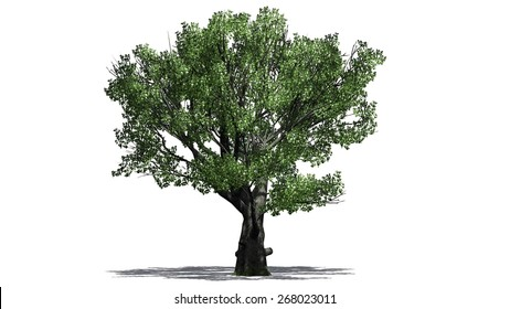 White oak tree - isolated on white background