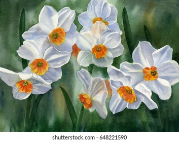 White and Orange Daffodils. Watercolor painting of white daffodils with orange centers