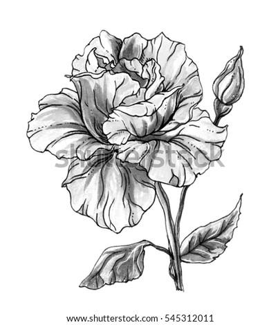 Royalty Free Stock Illustration Of White Rose Flower Blossom