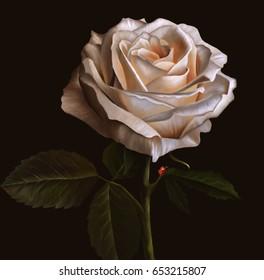 White rose flower on dark background. Oil painting illustration