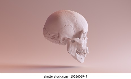 White Skull with Jaw Closed Right Side 3d illustration scsuvizlab CC Attribution