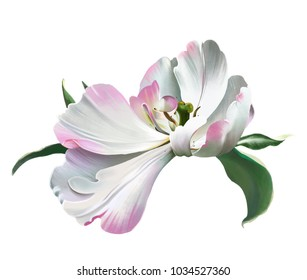 White Tulip close-up on white background, symbol of spring and warmth. Symbolizes the approach of spring, and a beautiful holiday, international women's day